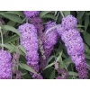 Buddleja dav. Nanho Purple