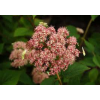 hydrangea arb  pink percussion