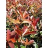 Photinia fras. Red Robin