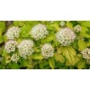 Physocarpus op. Darts Gold